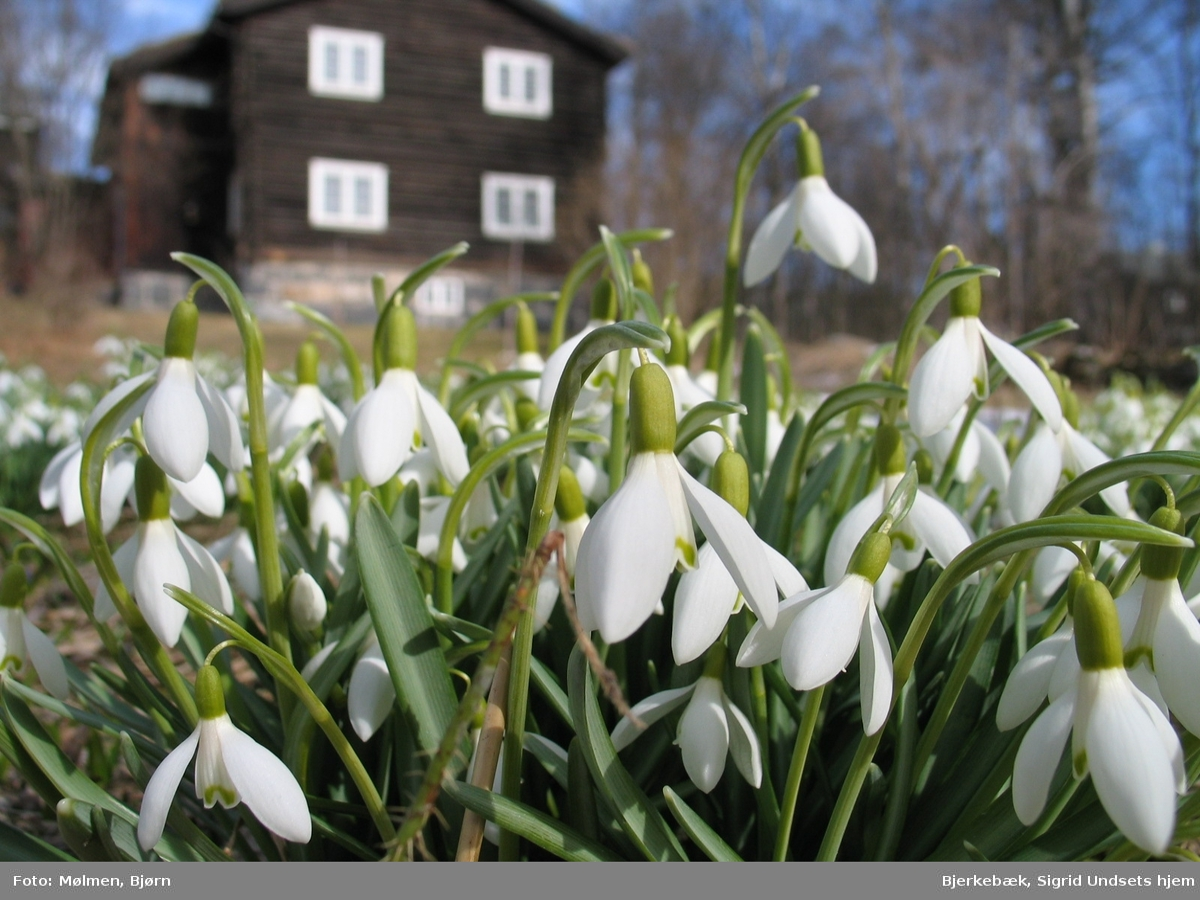 DOK:2007, Bjerkebæk, hage, blomster, snøklokker,