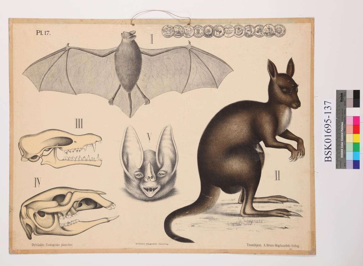 Flaggermus, kenguru og kranier