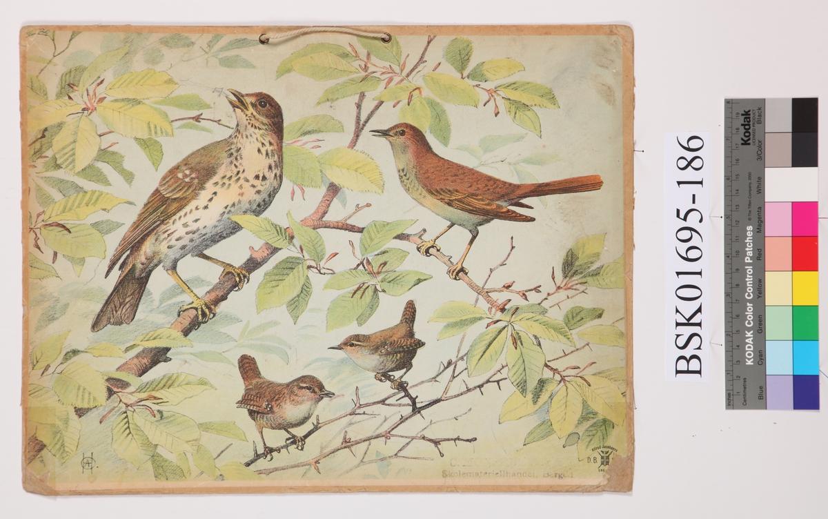 Fugl. Måltrost