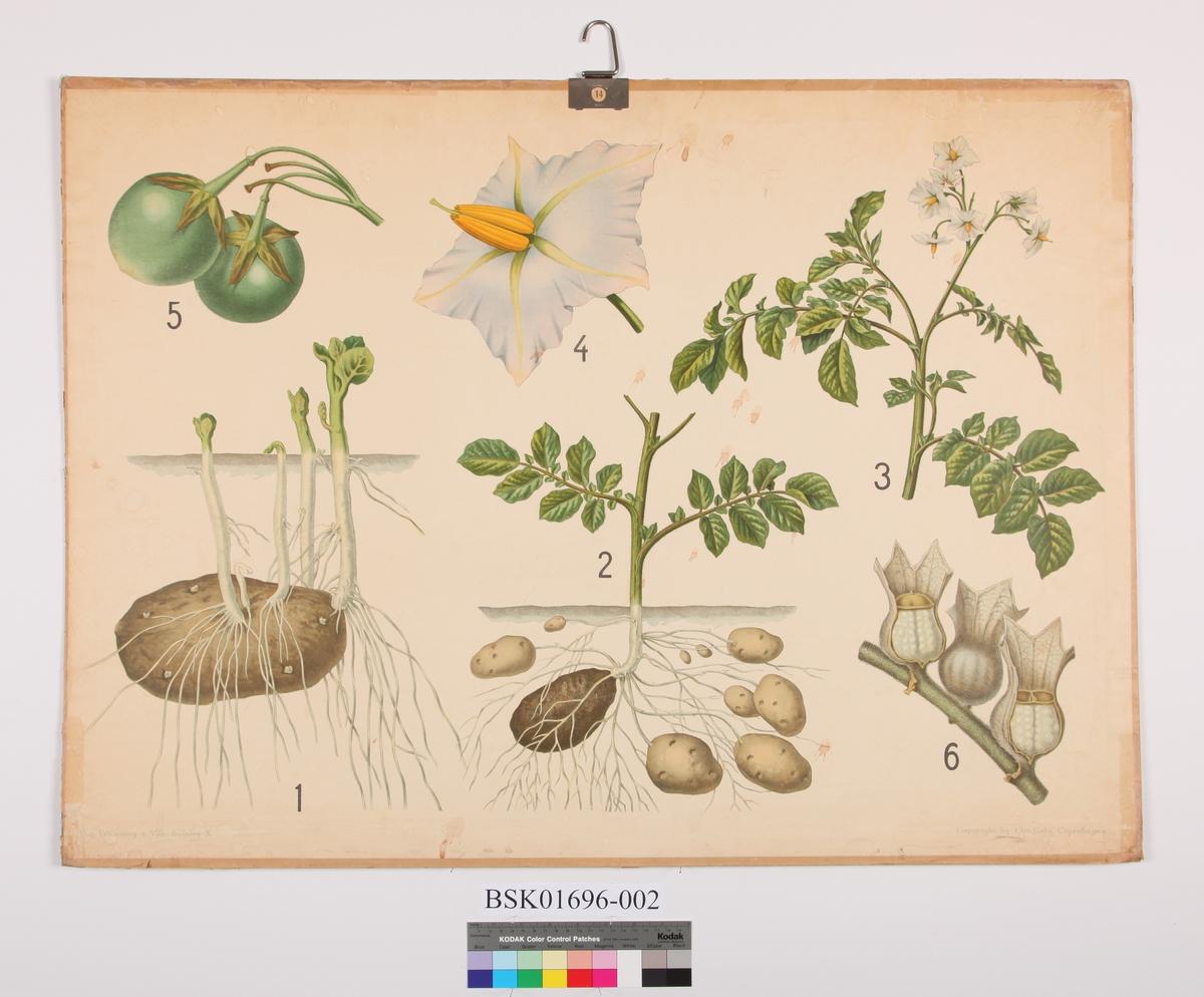 Illustrasjon av potetplanten