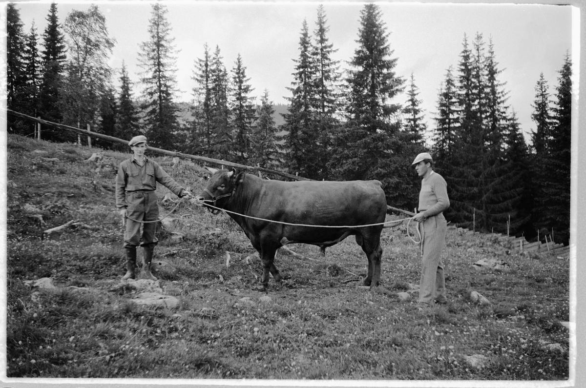 Eksteriør, skog. To menn holder en okse med nesering.