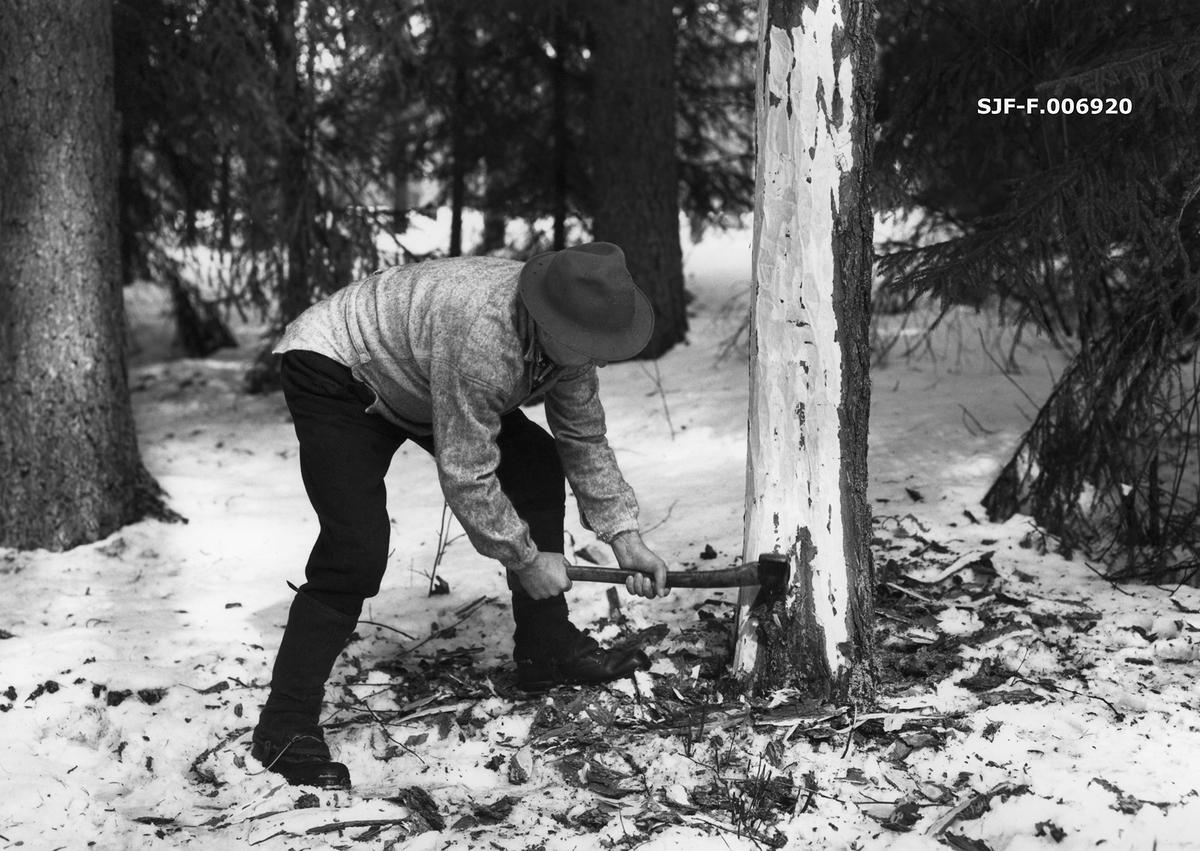 Tømmerhogging med øks.  Bildet er tatt vinterstid, som tradisjonelt var høysesong for skogsdrifter.  Vi ser en skogsarbeider som har «sokket» et bartre ved å hogge veg kvister og bark på om lag halvannen meter ned mot rota.  Dette ble gjort fordi treet uansett skulle barkes, og ergonomisk sett var det enklere å barke denne delen av stammen i stående stilling enn når treet var felt og lå på marka.  Da dette fotografiet ble tatt var skogsarbeideren i ferd med å starte hogginga ved rothalsen.  Her hogg han to innhogg, fra hver sin side av treet, slik at han til slutt hadde noenlunde kontroll med fallretningen.  Skogsarbeideren på dette fotografiet er Konrad Eggen (1917-1992) fra Horndalen i Elverum i Hedmark.  Da dette fotografiet ble tatt hadde han gått ut av sitt opprinnelige yrke for å bli vaktmester ved Norsk Skogbruksmuseum, men da museumspedagogen og fotografen trengte bistand til å lage bildeserier som skulle vise skogsarbeid i ulike faser, stilte han opp som «fotomodell» i et antrekk av den typen han som ung mann brukte under manuelle drifter på ulike steder i Sør-Østerdalen.  Eggen var her kledd i vadmelsbukser og grå busserull.  Han hadde beksømsko og snøsokker av lær på beina, og en vidbremmet hatt på hodet.  Fotografiet er antakelig tatt i skogen på Prestøya i Glomma, mellom Norsk Skogbruksmuseum og Glomdalsmuseet.