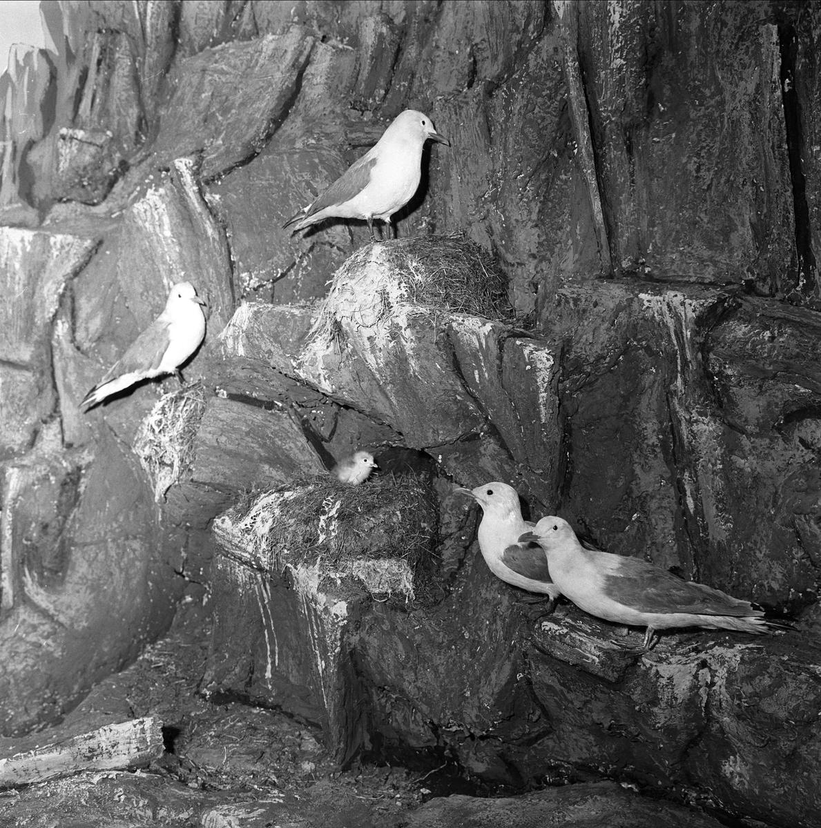Tromsø Museum-Universitetsmuseet, Lars Thøringsvei 10, Troms, april 1963. Utstilling av fugler.