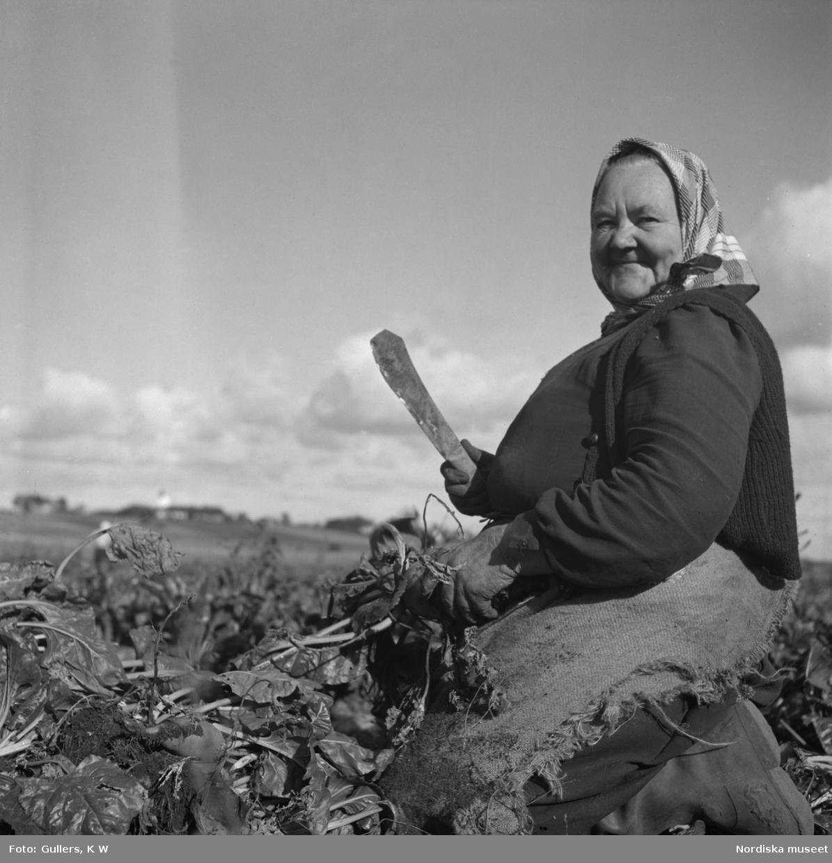 Äldre kvinna med en kniv som skördar sockerbetor i Skåne