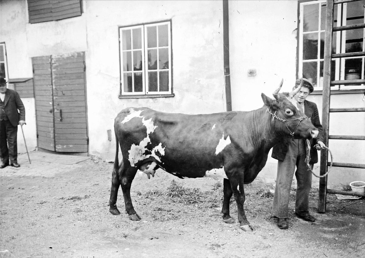Man och ko, sannolikt Uppsala 1938
