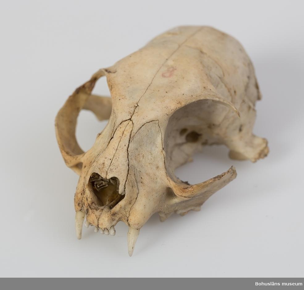 Defekt kranium. 13 hela tänder finns kvar i överkäken. Ur handskrivna katalogen 1957-1958: Kranium av huskatt  Lappkatalog:
