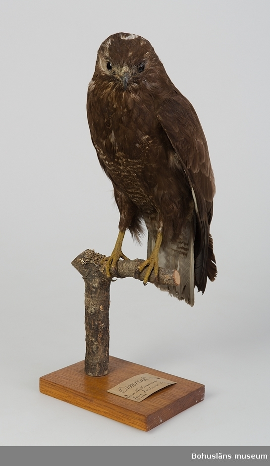 Gammal fågel. Garn, Forshälla 1/8 1940. Skänkt av Nils Hermansson.  Ur handskrivna katalogen 1957-1958: Ormvråk