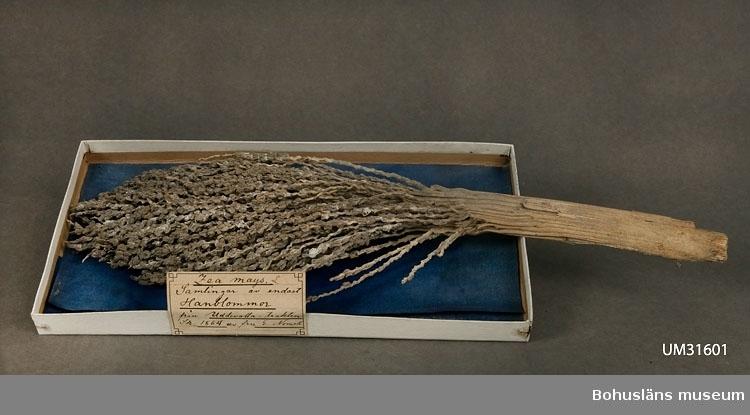 """Hanax av majs från den toppställda vippan.  Vippan ligger i en äldre utställningslåda av vit kartong med ett blått glättat papper i botten som dekorativ bakgrund. Lådans storlek 30 x 15 x 2 cm. Etikett med handskriven text: Zea mays L. Samlingar av endast Hanblommor från Uddevalla-trakten. Sk. 1864 av fru E. Nomell.  I tryckt redogörelse för verksamheten för """"Museum för Bohus Län 1861"""" står under alfabetisk förteckning över föreningens medlemmars bidrag och gåvor: Nomell, Elise, Fru, Uddevalla: ett ax af jättemajs.  I handskrivna katalogen Gåvor 1861 -1870, Botaniska-Tekniska och Industriella samlingarna vid Uddevalla museum står antecknat:  Nomell, Elise, Fru ett ax af Jättamais, 4 alnar högt, vuxet på landeriet Novilla.  Föremålet har funnits okatalogiserat i museets samlingar tills år 2011."""
