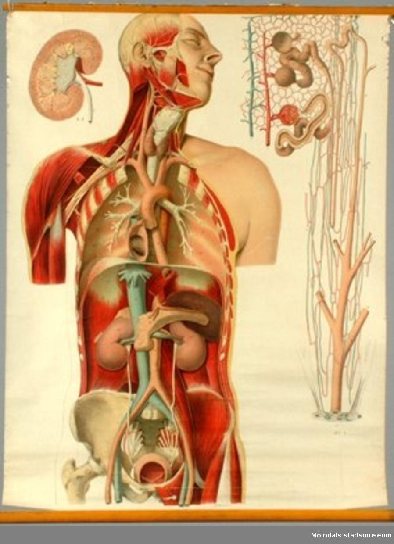 Anatomisk plansch av nervsystemet.