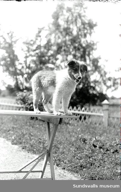 Porträtt av en hundvalp, en av Maria kihlbaums lånhåriga collie.