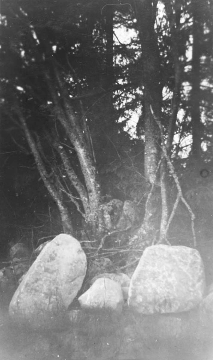 Dette treet tjente som basis for St. Hans bålet i 1916.