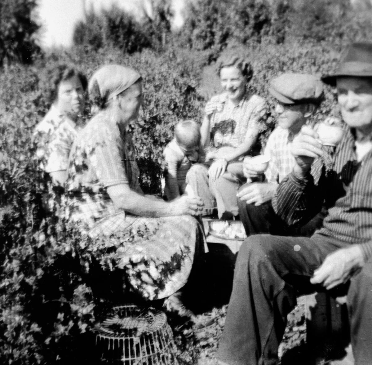 Kaffepause blant solbærbusker. Ingeborg Bergersen og Einar Bergersen med flere. Dæhli nordre, Nes, Hedmark.