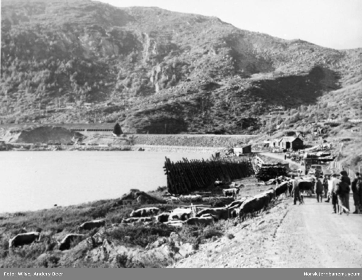 Krøtterinnsamling om høsten ved anleggsveien innenfor Haugastøl med Bergensbanen i bakgrunnen